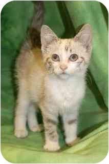 Domestic Shorthair Kitten for adoption in Hendersonville, Tennessee - Claudia
