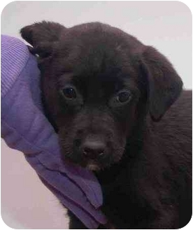 Labrador Retriever Mix Puppy for adoption in Mora, Minnesota - Timmy