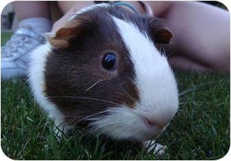 Guinea Pig for adoption in Phoenix, Arizona - Freddy