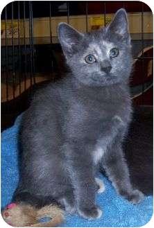 Domestic Mediumhair Cat for adoption in Cocoa, Florida - Seven