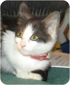 Domestic Mediumhair Kitten for adoption in Muskogee, Oklahoma - Prissy
