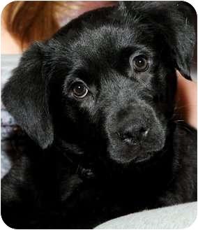 Labrador Retriever Puppy for adoption in Wakefield, Rhode Island - TITAN(GORGEOUS LAB PUPPY!!!
