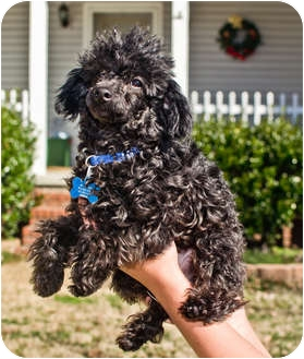 Poodle (Toy or Tea Cup) Puppy for adoption in Westport, Connecticut - *Zippity-Doo-Da - PENDING