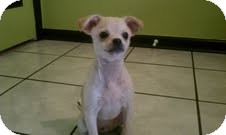 Chihuahua/Pekingese Mix Puppy for adoption in Jacksonville, Florida - Rocky