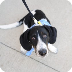 Basset Hound/Labrador Retriever Mix Dog for adoption in justin, Texas - Bandit