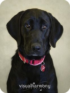 Labrador Retriever Mix Puppy for adoption in Phoenix, Arizona - Grace