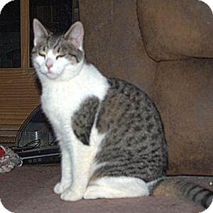 Domestic Shorthair Cat for adoption in Colorado Springs, Colorado - K-Hart10-Queenie