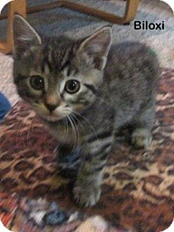 Domestic Shorthair Kitten for adoption in Portland, Oregon - Biloxi