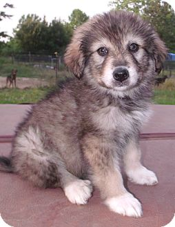 Great Pyrenees Mix Puppy for adoption in Starkville, Mississippi - Cogsworth