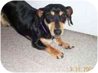 Dachshund/Rat Terrier Mix Dog for adoption in League City, Texas - Toppy