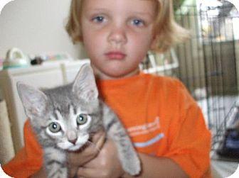 Domestic Shorthair Kitten for adoption in Lenexa, Kansas - Lacy