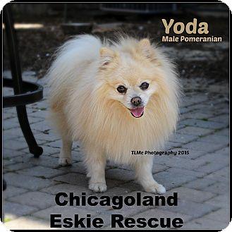 Pomeranian Dog for adoption in Elmhurst, Illinois - Yoda