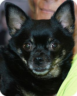 Chihuahua Mix Dog for adoption in Port Clinton, Ohio - Acer