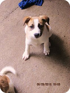 Jack Russell Terrier/Border Collie Mix Puppy for adoption in Oswego, New York - Maeve