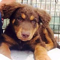 Adopt A Pet :: Basil - West Richland, WA