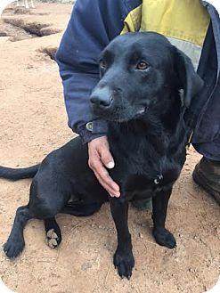 Labrador Retriever Mix Dog for adoption in Huntley, Illinois - Tammy