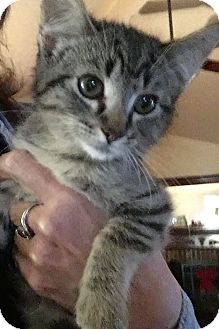 Domestic Shorthair Kitten for adoption in Round Rock, Texas - Bobby Ray