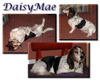Basset Hound Dog for adoption in Marietta, Georgia - DaisyMae