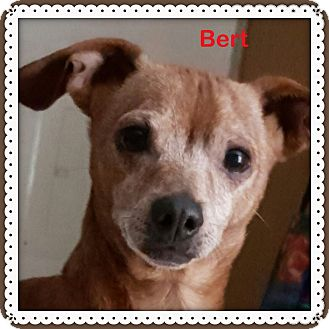 Dachshund/Chihuahua Mix Dog for adoption in Green Cove Springs, Florida - Bert
