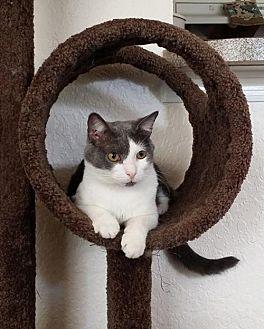 Domestic Shorthair Cat for adoption in Apopka, Florida - Tato