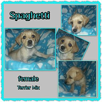 Terrier (Unknown Type, Small) Mix Puppy for adoption in Richmond, California - Spaghetti