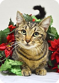 Domestic Shorthair Cat for adoption in Dublin, California - Miriam