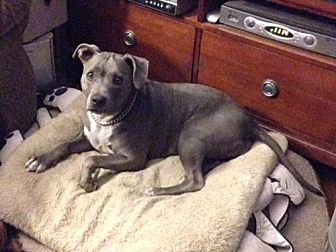 American Staffordshire Terrier Dog for adoption in Fulton, Missouri - Lucy - California