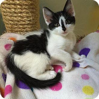 Domestic Shorthair Kitten for adoption in Denver, Colorado - Chip