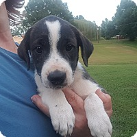 Beagle/Mountain Cur Mix Puppy for adoption in Glastonbury, Connecticut - Jolene