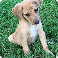 Adopt A Pet :: Muddy - Little Rock, AR