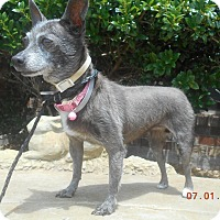 Chihuahua Dog for adoption in haslet, Texas - glory