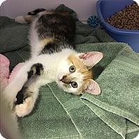 Calico Kitten for adoption in Goshen, New York - Penelope