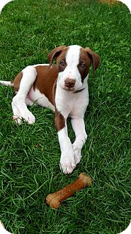 Pointer/Hound (Unknown Type) Mix Puppy for adoption in Fort Collins, Colorado - Coral