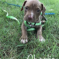 Pit Bull Terrier Mix Puppy for adoption in Duluth, Georgia - Charlie