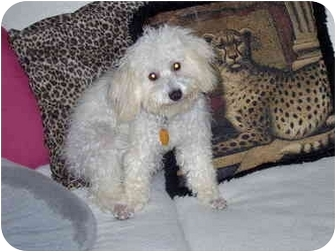 Miniature Poodle Mix Dog for adoption in Cairo, Georgia - Ozzie