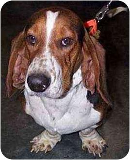 Basset Hound Mix Dog for adoption in Marietta, Georgia - BeauRegard