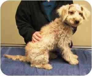 Bichon Frise/Cocker Spaniel Mix Puppy for adoption in La Costa, California - Dash