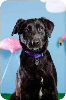 Labrador Retriever Mix Dog for adoption in Portland, Oregon - Jonah