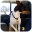 Photo 3 - Rat Terrier/Fox Terrier (Smooth) Mix Dog for adoption in Fowler, California - Russell