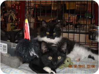 Domestic Longhair Kitten for adoption in Riverside, Rhode Island - Alexandra & Cassan