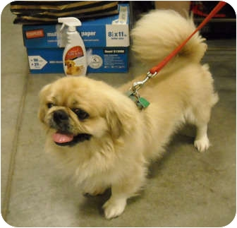 Pekingese Dog for adoption in Brazil, Indiana - Brodie