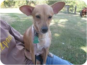 Chihuahua Mix Dog for adoption in Naugatuck, Connecticut - Rosemary