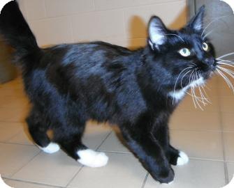 Domestic Longhair Cat for adoption in Jackson, Michigan - Marlin