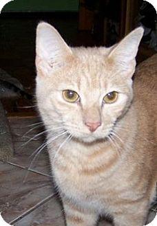 Domestic Shorthair Kitten for adoption in Schertz, Texas - Peep