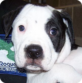 Labrador Retriever/American Staffordshire Terrier Mix Puppy for adoption in Grants Pass, Oregon - Petey