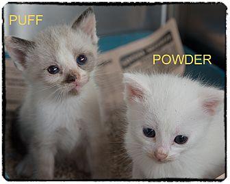 Domestic Shorthair Kitten for adoption in Corpus Christi, Texas - Powder & Puff
