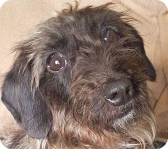 Dachshund Dog for adoption in Groton, Massachusetts - Lamb Chop