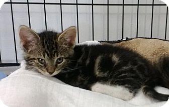 Domestic Shorthair Kitten for adoption in Speonk, New York - Seth