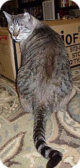 Domestic Shorthair Cat for adoption in St. Louis, Missouri - Hagrid