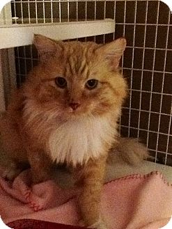 Domestic Longhair Cat for adoption in Douglas, Wyoming - Jeeves